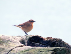 A little wheatear down on Slapton Sands.