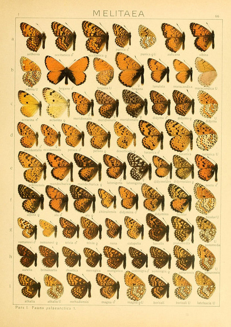 scientificillustration:  Melitaea by BioDivLibrary on Flickr.