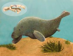 "rhamphotheca:  Ancient Pygmy Sea Cow Discovered A McGill University researcher has discovered a near-complete skull of a primitive ""dugong"" illuminating a virtually unknown period in Madagascar fossil history. The discovery of a Middle Eocene (48.6-37.2 million years ago) sea cow fossil by McGill University professor Karen Samonds has culminated in the naming of a new species. This primitive ""dugong"" is among the world's first fully-aquatic sea cows, having evolved from terrestrial herbivores that began exploiting coastal waters. Within this ancient genus, the newly discovered species is unusual as it is the first species known from the southern hemisphere (its closest relatives are from Egypt and India), and is extremely primitive in its skull morphology and dental adaptations. The fossil is a pivotal step in understanding Madagascar's evolutionary history — as it represents the first fossil mammal ever named from the 80-million-year gap in Madagascar's fossil record. The research is to be published in the Journal of Vertebrate Paleontology on December 12… (read more: Science Daily)            (McGill University) _______________________________________ Above story reprinted from materials provided by McGill University."