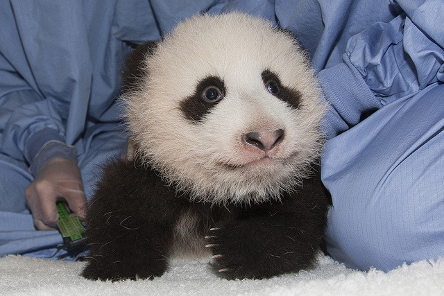 funnywildlife:  Panda Cub 11th Exam by Official San Diego Zoo on Flickr.