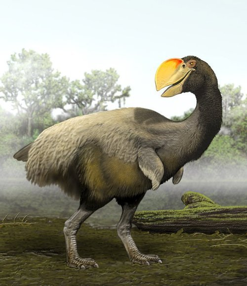 "fearof-theunknown:  Bullockornis, nicknamed the carnivorous ""Demon Duck of Doom,"" stood over 10 feet tall and lived c.15 million years ago in Australia. Bullockornis seems to have been more closely related to ducks and geese than to modern ostriches, and its heavy, prominent beak points to its having had a carnivorous diet."
