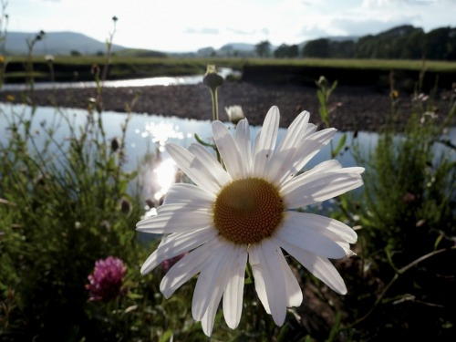 Ox-eye Daisy. Leucanthemum vulgare. On a bank of the River Ure, Hawes, North Yorkshire