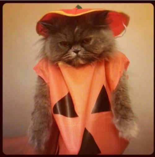 squishfacekitties:   Penny the Persian kitten's first ever Halloween! (It may not look like it but she actually loved wearing her costume, she was purring her little heart out!)  OH MY GOD THIS IS SO CUTE!!