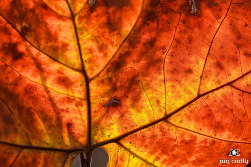 "Illuminate. Late afternoon sunlight through a Sycamore leaf on November 1, 2012.  Enlightenment through light-heartedness. The true beauty of the spirit within reveals itself through translucence, when the layers of the pretending ego are stripped away. When the internal shines with the brilliancy of the eternal. I am thankful.  ""The true value of a human being can be found in the degree to which he has attained liberation from the self."" ― Albert Einstein"