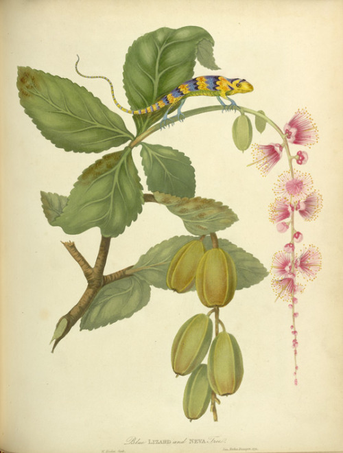 heaveninawildflower:  Blue Lizard and Neva Tree (1813) taken from James Forbes (1749-1819) 'Oriental Memoirs'. Wikimedia
