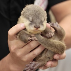 dailyotter:  Tiny Otter Pup Is Four Days Old Via Beginners' Blog Otter