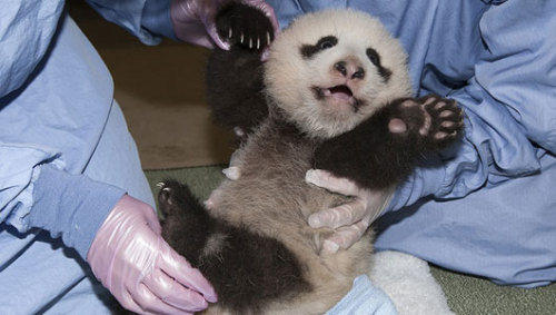 Full-bellied panda cub pushes up on 4 legsVets at the San Diego Zoo checked out the baby panda's heart, lungs and stomach during the cub's 11th exam.