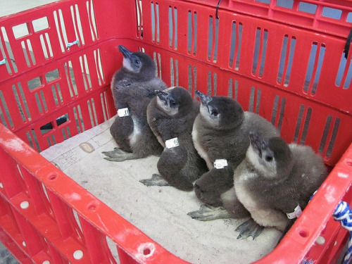 AVIVA-Volunteer-SANCCOB-Penguin-Conservation-12 by AVIVA-volunteering on Flickr.