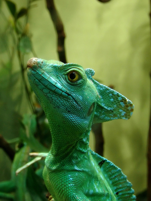 the-absolute-best-photography:  basiliscus plumifronsby Joachim S. Müller You have to follow this blog, it's really awesome!