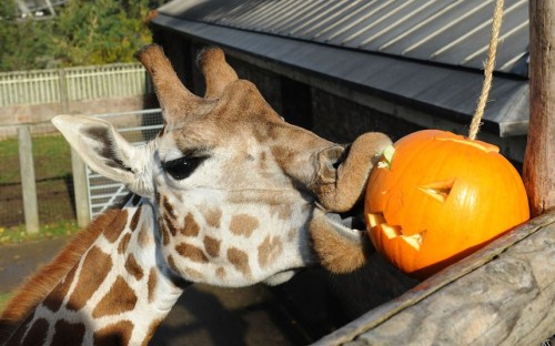 theanimalblog:  A giraffe enjoys a Halloween pumpkin treat at London Zoo.  Picture: Tony Kyriacou / Rex Features  I absolutely love giraffes!(:
