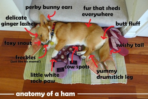 corgiaddict:  … plus a dash of slipper-herding/hoarding instinct! submitted by: chubbythecorgi.tumblr.com