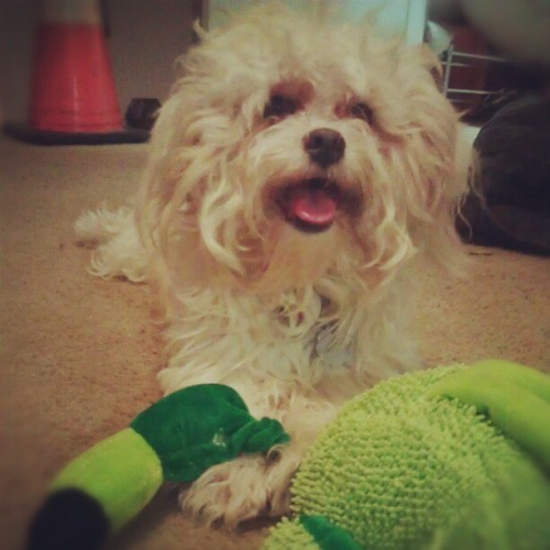 Just strangled a flamingo, no big deal. #mydog #cutedogs #teddybear #shihtzu #bichon #shichon