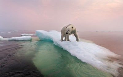 phototoartguy:  An adult polar bear walks along melting ice in Hudson Bay in Churchill, Canada. Picture: Paul Souders / Barcroft Media