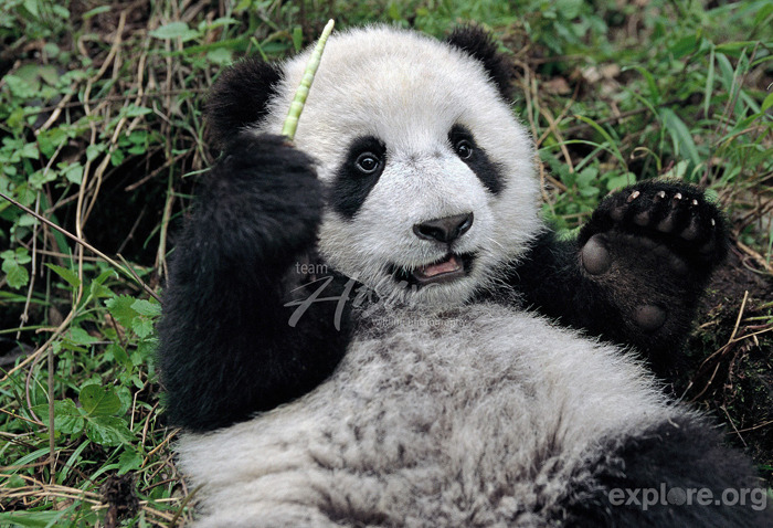 "exploreorg:  This photo from the Wolong collection shows a baby panda who seems to be conducting an orchestra.  Did You Know? The New York Philharmonic is the oldest symphony orchestra in the U.S. and one of the oldest in the world? Founded in 1842, ""it currently plays some 180 concerts a year, and on May 5, 2010, gave its 15,000th concert — a milestone unmatched by any other symphony orchestra"" (NYPhil).  Just one of the many things that rock about New York City. Help the victims of Hurricane Sandy, still without power by donating to the charity of your choice or the Red Cross relief fund, or by giving blood, which the region is currently in great need of."