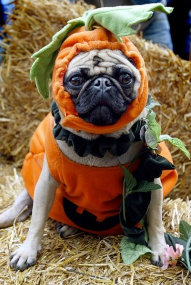 Just so you know there is going to be a very large amount of costumed pugs for the next couple of days.                        -This photo was discovered by my lovely friend Katie