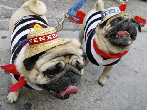 Italian pugs                       -This photo was discovered by my lovely friend Katie