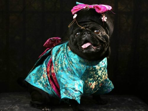 Geisha pug -This photo was discovered by my lovely friend Katie