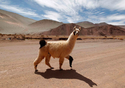 A llama crosses the road near the Tolillar salt flat in Salta province, Argentina.  Photograph: Enrique Marcarian/Reuters