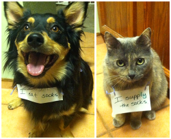 flavorcountry:  dogshaming:   Partners in crime: Watson (left) has a taste for socks, so we don't leave them out where he can get them. Mesa (right) fishes them out of the laundry and smuggles them to the puppy. Sneaky kitty.  Something about the look of the handwriting combined with the expressions on these animals' faces is 100% perfect.