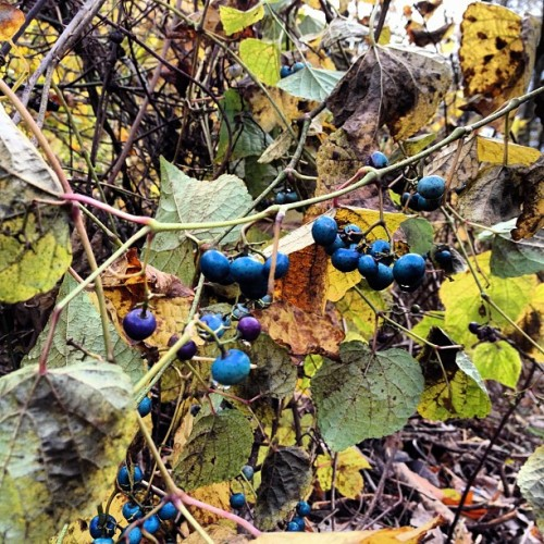 Strange colored berries