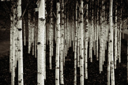 birches by duesentrieb on Flickr.