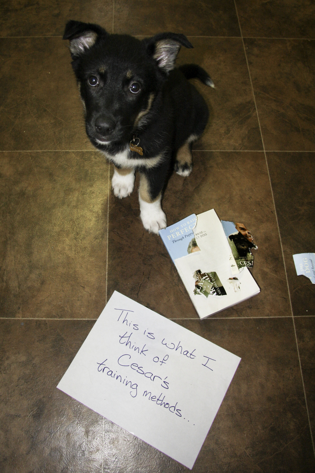 dogshaming:  This is Rogue. She's 3 months old. Training is going well…