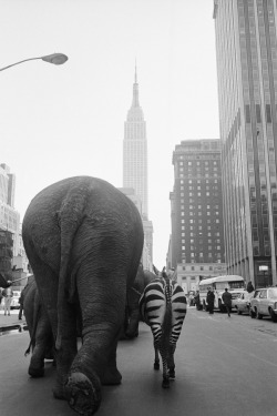 franklinj:  grenadined:  elephant butt explore-blog:  Circus and the City: New York, 1793–2010 – new exhibition explores the history of the circus in NYC. Complement with this visual history of the golden age of the circus.    Madagascar was based on a true story.