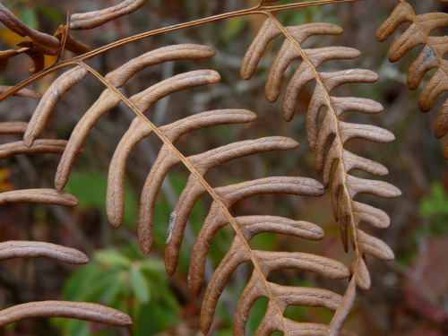 dendroica:  Bracken fern on Flickr.