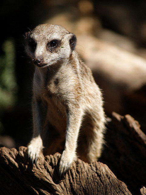 Meerkat by thmsnsmth on Flickr.