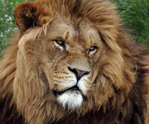 llbwwb:  Lion Face (by Lawrence G Photos)