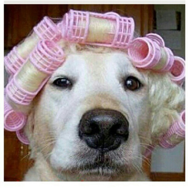 darebe:  From @igsg, haha so cute!!!! #Dog #perm #hair #curler