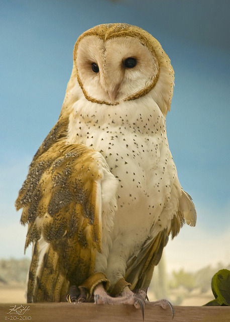 Barn Owl by KGHofSF on Flickr.