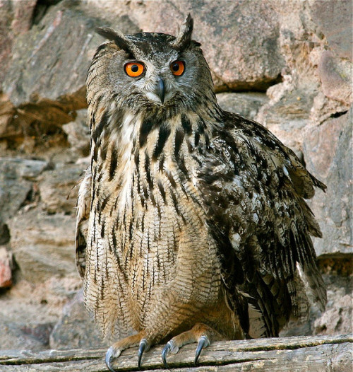 (1087) owl/ Uhu by unicorn 81 on Flickr.