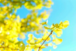 miridmaxwell:  ginkgo#autumn #yellow #nature #tree #photography #nikon #bokeh(from @MiwaAsada on Streamzoo)