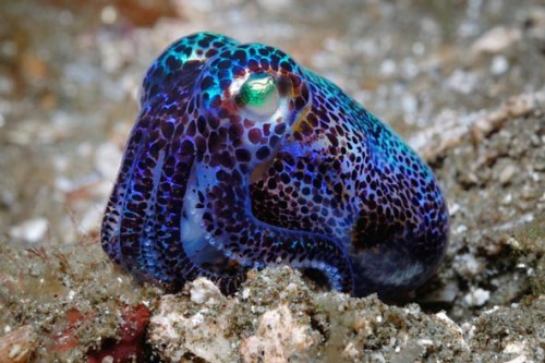 bvttons:  Bobtail Squid  Lookit dis wittle bab. He just wants a home.
