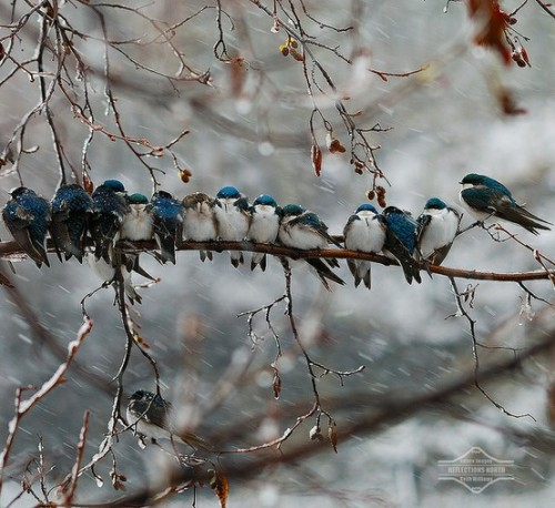 fairy-wren:  tree swallows (photo by terri kramer)