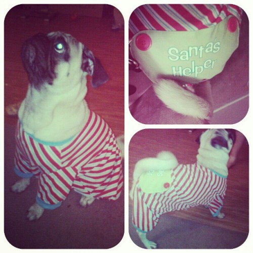 Couldn't resist putting on his #Christmas PJs early  #santashelper #pajamas #puglife