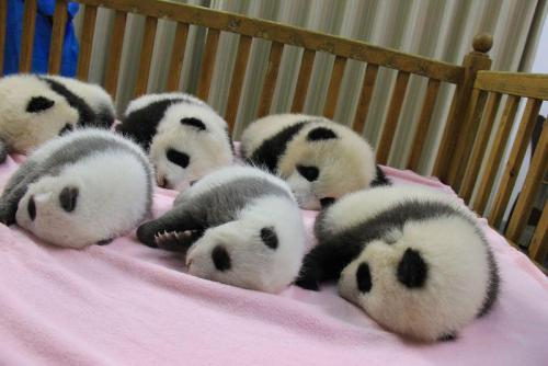 buzzfeed:  Good morning! Here are 6 sleeping baby pandas. Have a good Monday!