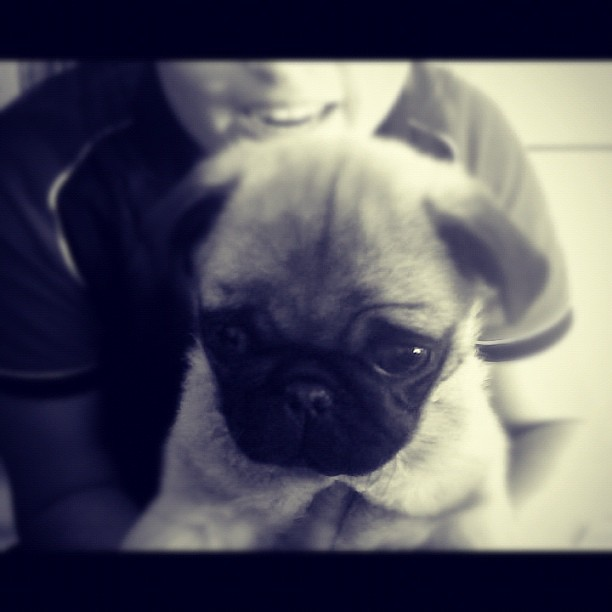Little Frankie 😙💕 #flashback #pug #puglife #pugsnotdrugs #cute #baby #instapug #instagram #photo #photography