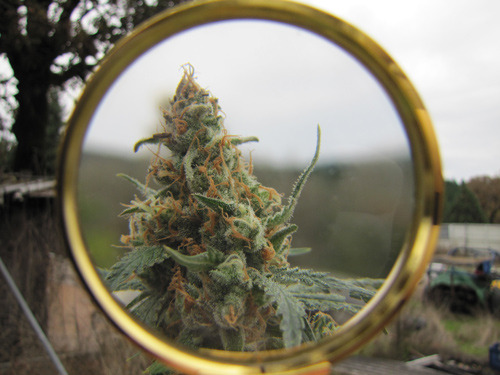 weedporndaily:  PIX OF THE CROP - 11.03.12