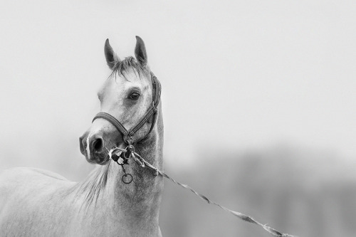 black-and-white:  horse | by amai911