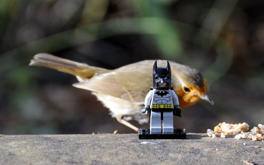 allcreatures:  Batman and robin Picture: Darren Moston (via Pictures of the day: 5 November 2012 - Telegraph)