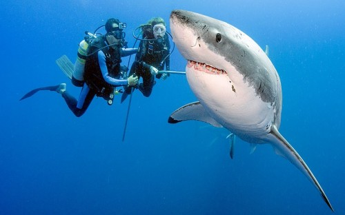 EVERYTHING'S FINE Two divers look at a great white during a dive without shark cages in the waters off the coast of Mexico. Deep sea photographer Daniel Botelho took a series of pictures on a recent trip to a remote island off the coast of Mexico. The award-winning nature photographer insisted that while great white sharks are top predators they very rarely regard humans as food. He explained the key to safely diving with this notorious shark was to remain relaxed, keep eye contact with the shark and hold ones ground no matter how close the shark swims to the diver. Picture: Daniel Botelho/Barcroft Media