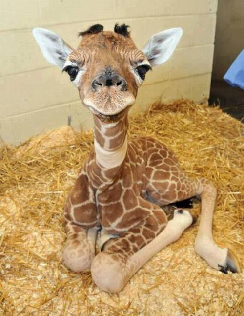 little cute giraffe! *-*