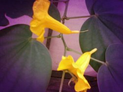 Yellow flower#yellow #green #tree #flower #allshots #andrography #android #Random #cool #India(from @raghulsam on Streamzoo)