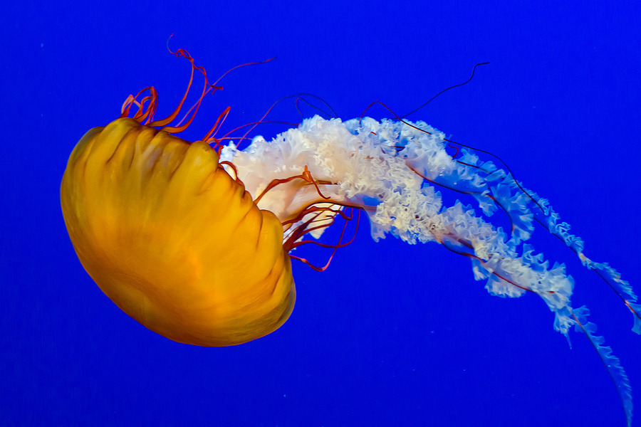 Pacific Sea Nettle at Vancouver Aquarium A common free-floating scyphozoa that lives in the EastPacific Ocean from Canada to Mexico. Sea nettles have a distinctive golden-brown bell with a reddish tint. The bell can grow to be larger than one meter (three feet) in diameter in the wild, though most are less than 50 cm across. The long, spiraling, white oral arms and the 24 undulating maroon tentacles may trail behind as far as 3.6 to 4.6m (12 to 15 feet). For humans, its sting is often irritating, but rarely dangerous. (via Ванкуверский Аквариум | Непутевая Канада. Блог Антона Белоусова)