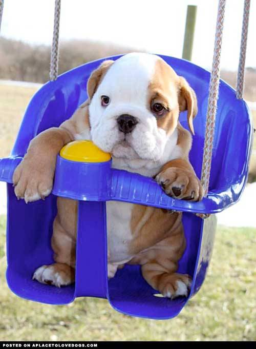 aplacetolovedogs:  Cutest  ever baby Bulldog in a swing. I'm getting bored here, will someone come give me a push? Original Article