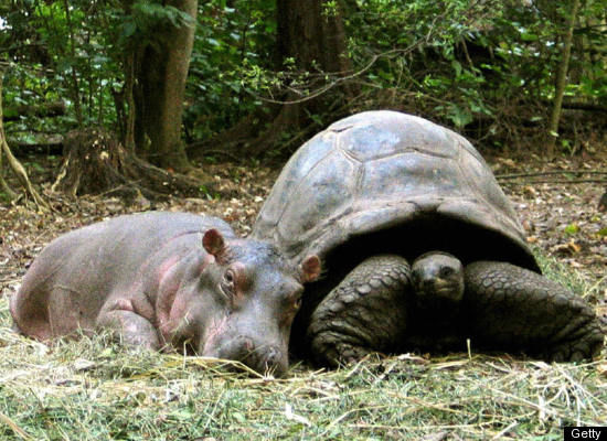 unlikelyfriendshipsbook:  The Hippo and the Giant Tortoise  Owen and Mzee!