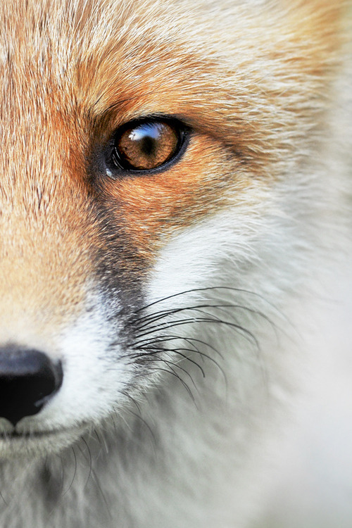 "stuff-and-shenanigans:  earth-song:   ""Wild Fox"" by Milan Krasula   IT'S SO CUTE ASDGHJKL"