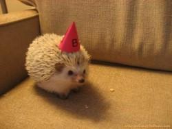 baby cute adorable animal hedgehog pet nawww spikey